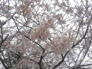 2019年桜